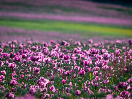 pink poppies on a field