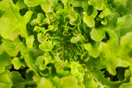 lactuca: Lettuce (Lactuca sativa) is an annual plant of the aster or sunflower family Asteraceae. It is most often grown as a leaf vegetable, but sometimes for its stem and seeds.