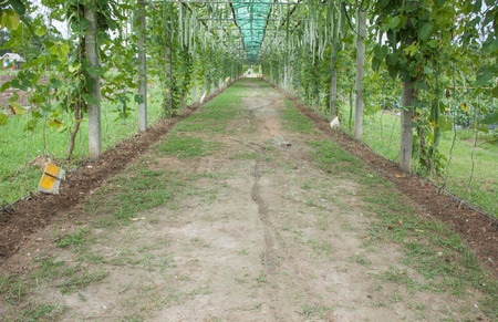 plants species: Convert vegetable garden My own grown vegetables Economies and sufficient Many species of morning glory plants zucchini vegetable pods.