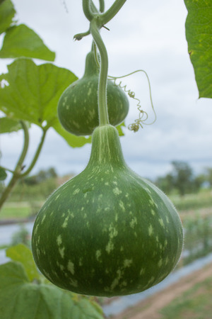 sufficient: Convert vegetable garden My own grown vegetables Economies and sufficient Many species of morning glory plants zucchini vegetable pods.