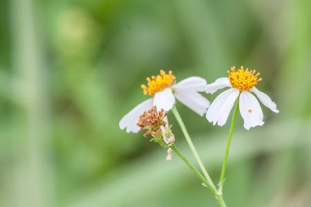 wasteful: White flowersYellow stamens