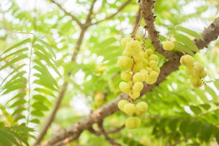 gooseberry: the gooseberry on tree