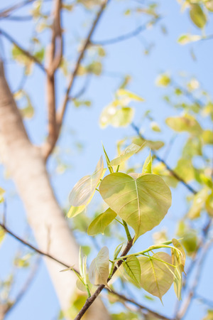 on leave: Bodhi leave on tree Stock Photo