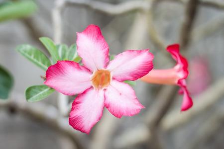 adenium: pink Adenium Stock Photo