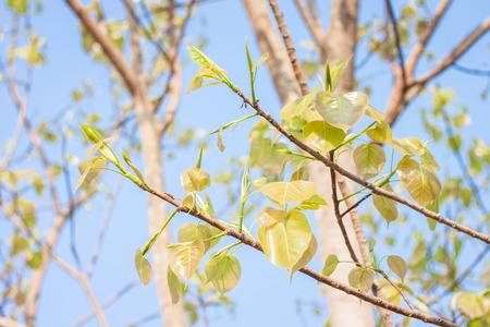 peepal: Bodhi leave on tree Stock Photo