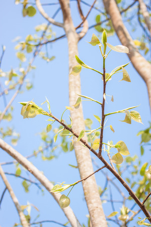 peepal tree: Bodhi leave on tree Stock Photo