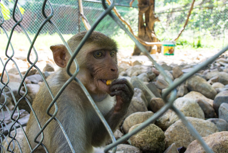 chimpances: A monkey sitting in the zoo cage. animal drink the water