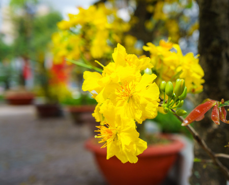 viet nam: the flowers of traditional Vietnamese new year.
