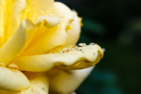 dichromatic: Yellow rose after rain. rose petals after rain with drops of dew