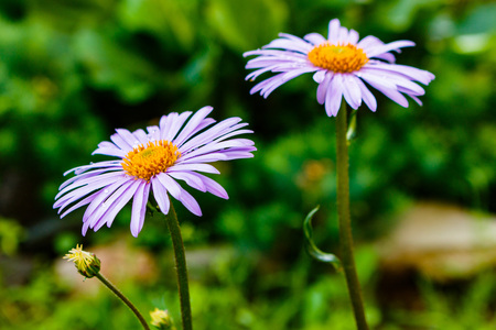alchemilla: Bluish Aster (Aster tongolensis), family Compositae. two flowers. purple