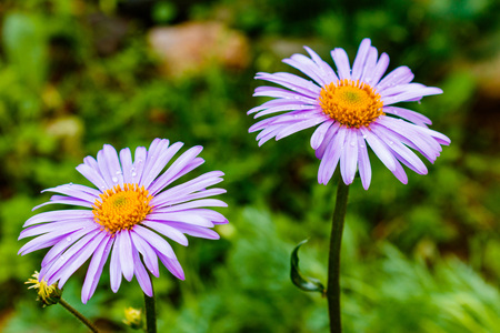 Bluish Aster (Aster tongolensis), family Compositae. two flowers. purple