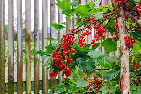 currants: female hands collect red currants.