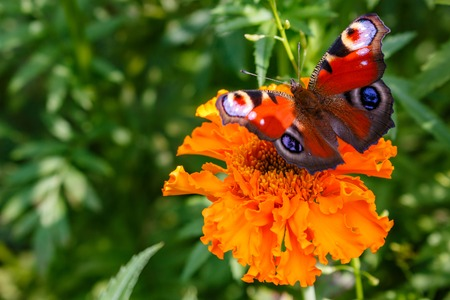 Peacock butterfly on a flower.