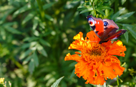nymphalidae: Peacock butterfly on a flower.