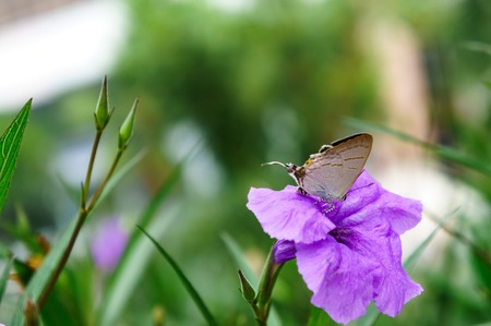 io: Asian butterfly on a flower. Stock Photo