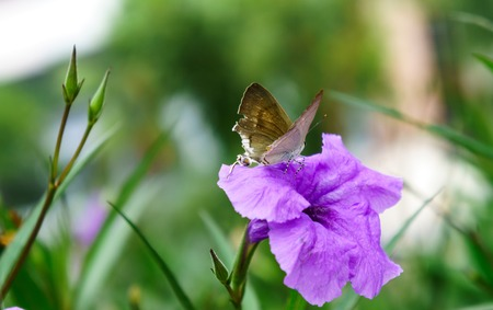 nymphalidae: Asian butterfly on a flower. Stock Photo
