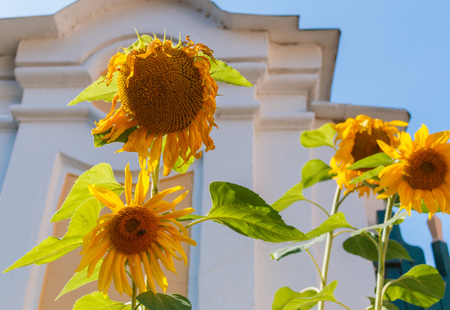 Wilting sunflowers against a blue sky. Stock Photo