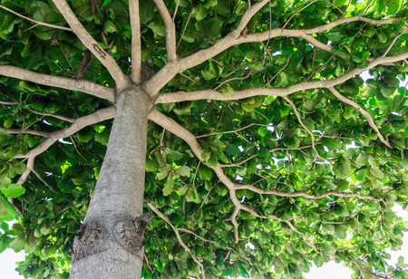 buildup: trunk of tree branch with a fan, the view from the bottom up Stock Photo