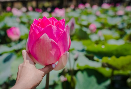 This beautiful waterlily or lotus flower is complimented by the rich colors. The female hand holds a flower