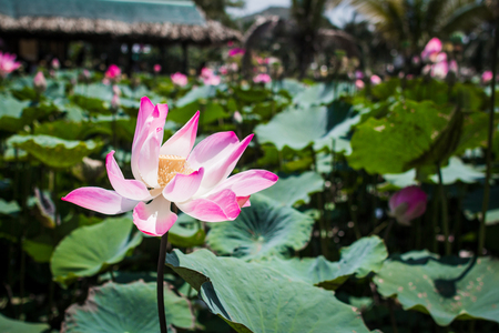 This beautiful waterlily or lotus flower is complimented by the rich colors Stockfoto