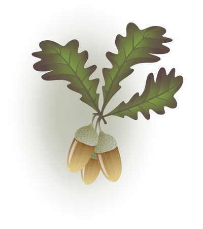 An oak twig with three nice acorns and leaves Illustration