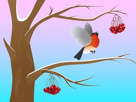 Bullfinch pecking red berries of a rowan Stock Vector - 12482437
