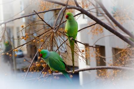 loros verdes: Dos loros verdes en una rama melia azedarach
