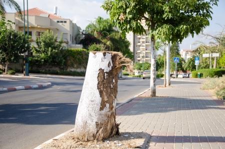 The brachychiton tree stump