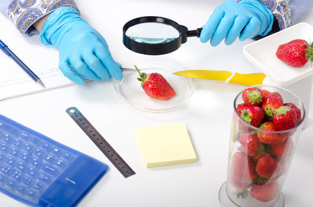 Phytosanitary expert hands inspecting the appearance of strawberries with a magnifying glass Stock Photo