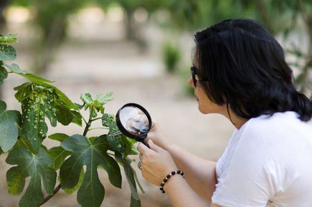 botanist: Botanist finding leaf galls on the figs tree with magnifying glass