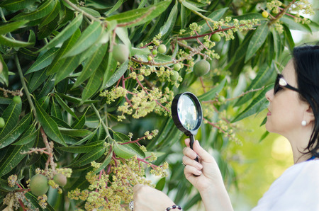 mango tree: Botanist checking the growth of mango pale yellowish flowers on the tree with magnifying glass Stock Photo