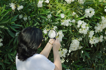 botanist: Botanist watching the white oleander flowers on the tree with magnifying glass Stock Photo
