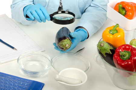 Expert hands inspecting a eggplant with a magnifying glass in phytocontrol laboratory Stock Photo