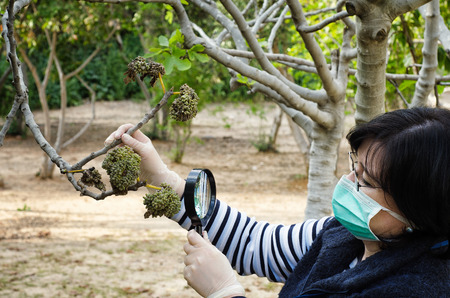 botanist: Masked botanist is looking at affected fig leaves with magnifying glass