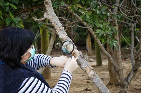 botanist: Masked botanist is carefully checking trunk of fig tree Stock Photo