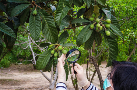 Masked botanist is carefully checking loquat tree