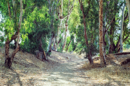 Abandoned dirt road passes through pretty eucalyptus wood among evergreen trees. Sunshine summer day. The image was shot in Israel