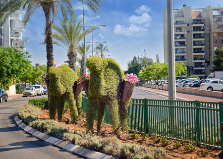 Rishon LeZion, Israel-June 17, 2017: The decorative set of 2 figures of camels made of green topiary stand in the diving line of the street. Each camel carries 2 baskets of red and white violets. The set represents a caravan in desert on the brown soil of Editorial