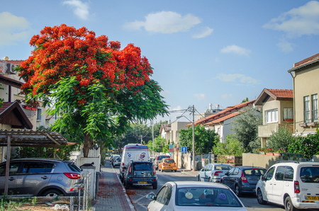 Rishon LeZion, Israel-June 10, 2017: The tall Delonix regia tree with the red blooming crown is on the left of the tiny driving road in the cottage neighborhood within David Shimoni Street