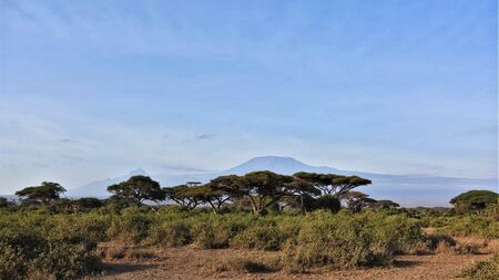 The famous Kilimanjaro, Kenya. The savannah is covered with grass; umbrella acacias grow. Against their background rises the beautiful Mount Kilimanjaro. The sky is clear, the mountain is clearly visible.
