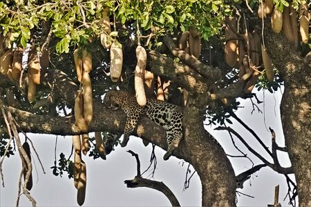 Afternoon leopard sleep. A leopard sleeps on a thick branch of sausage wood. Paws droop, belly full, eyes closed. Siesta. Around the leaves and fruits of an exotic African tree. Kenya, Masai Mara Park.