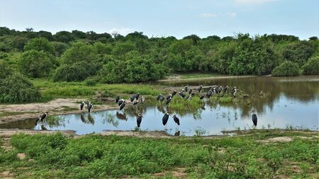 A large flock of marabou by the lake on a sunny day. Birds with black and white plumage, on long legs, with huge beaks. Around the green grass and shrubs. Clear blue sky. Reflection in water. Botswana, Chobe Park.
