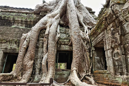 The unique ruins of Ta Prohm. The ancient mysterious temple is dilapidated, on the walls and bas-reliefs traces of damage, cracks. Trees with huge powerful roots grow on top of the old building. Cambodia, Angkor.