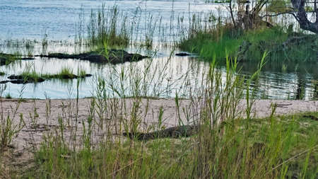 Riverbank, Africa. Calm blue water, green grass. A crocodile lurked on the sandy shore awaiting a victim. Botswana. Chobe River.