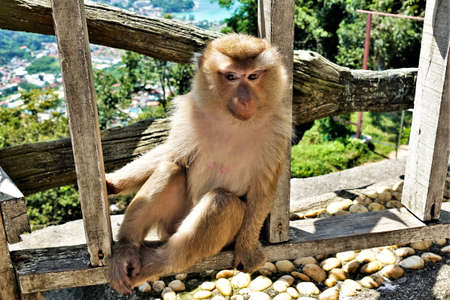 A cute monkey is sitting on a wooden fence. The legs are folded, fluffy beige fur. Looks thoughtfully and mysteriously. Thailand. Phuket. Standard-Bild