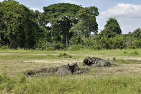 Two buffaloes, completely covered in mud, lie in a puddle in the savannah. Green trees against the blue sky. Kenya. Masai Mara park.