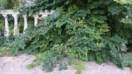 Shady corner in the old park. The white balustrade is braided by vines with dense foliage.