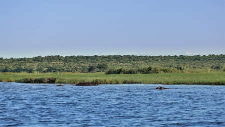 Green grass grows on the bank of the blue river. The backs and heads of swimming hippos are visible in the water. Summer sunny day. Botswana. Chobe park. Stok Fotoğraf