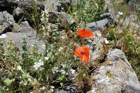 Bright scarlet poppies and white wildflowers among the stones. Summer sunny day in Turkey.