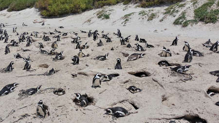 Large colony of wild penguins on Cape Town beach. Birds lie on the sand, sit in burrows, clean their feathers. An ordinary sunny day. South Africa.